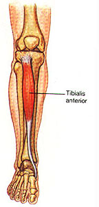 [Treatment for tibialis posterior tendonitis exersises  of Peroneal nerve repair cpt code